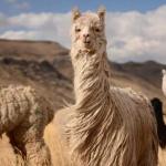 Edelhaare: Von Alpakas bis Yaks