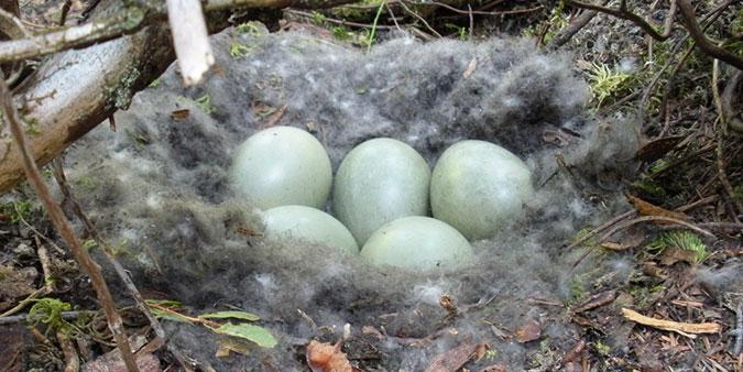 eider-nest